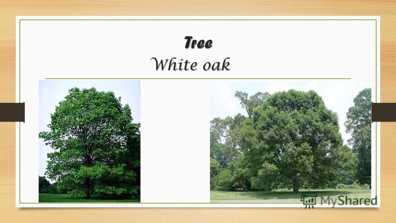Tree White oak