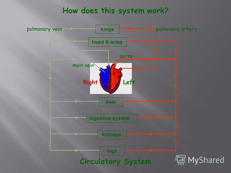 lungs head & arms liver digestive system kidneys legs pulmonary artery aorta pulmonary vein main vein LeftRight How does this system work? Circulatory System