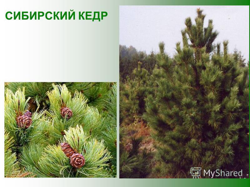 Замечательно это дерево тем, что его выделения убивают микробов. Поэтому воздух в сосновом лесу считается целебным, также целебны сосновые почки и хвоя