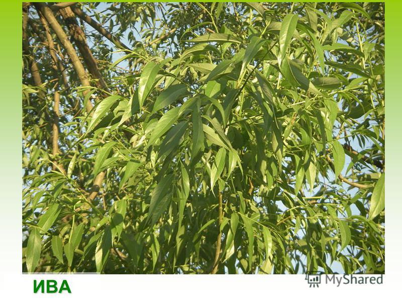 Плоды дуба – желуди, являются ценным питательным кормом для многих лесных животных и птиц. Любят желуди кабаны, белки.