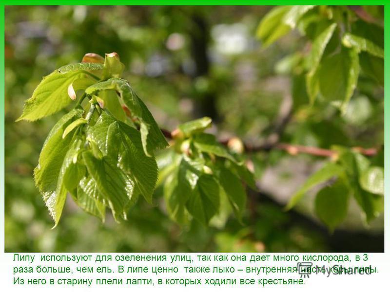 Липа издавна славится как «медовое» дерево: липовый мед считается самым вкусным и полезным. Цветы липы засушивают, а потом заваривают «липовый» чай – хорошее средство от простуды.