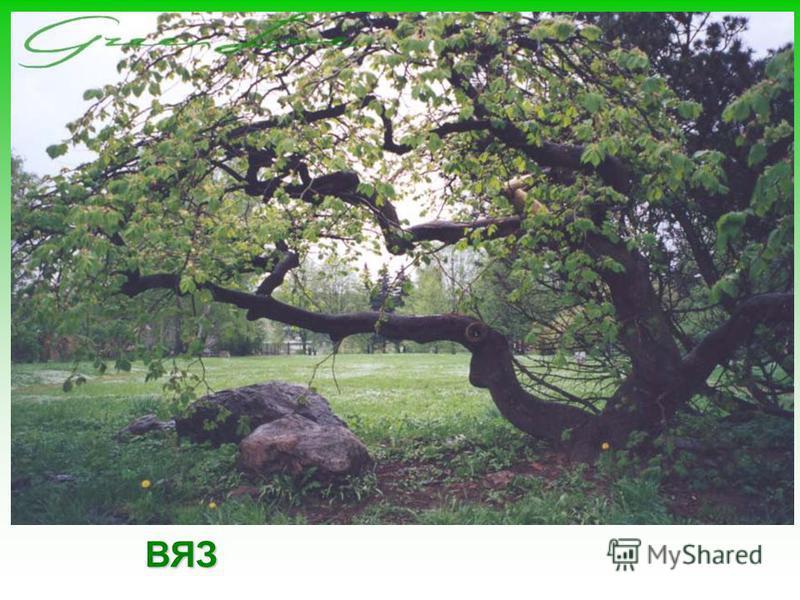 Осина или тополь дрожащий, свое название получила из-за того, что ее листья дрожат даже без ветра. Из осины получается прекрасная деревянная посуда.