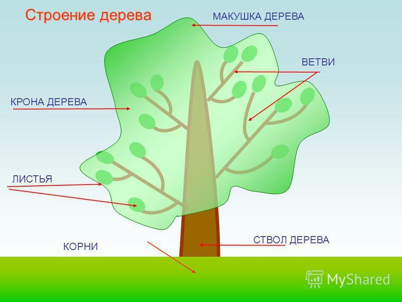Он растет, становится толще, начинают зеленеть листочки. Нижние ветви постепенно отмирают, падают на землю, а верхние тянутся к небу. Дерево растет очень долго, пройдет много лет, прежде чем оно вырастет и станет большим, высоким, могучим дубом.