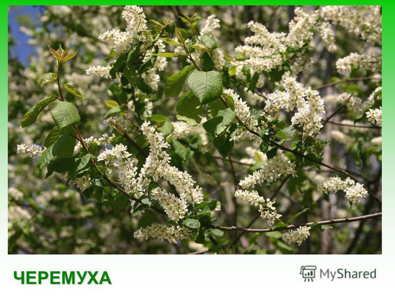 Кленовые листья имеют красивую форму, осенью люди часто собирают разноцветные букеты из листьев клена.