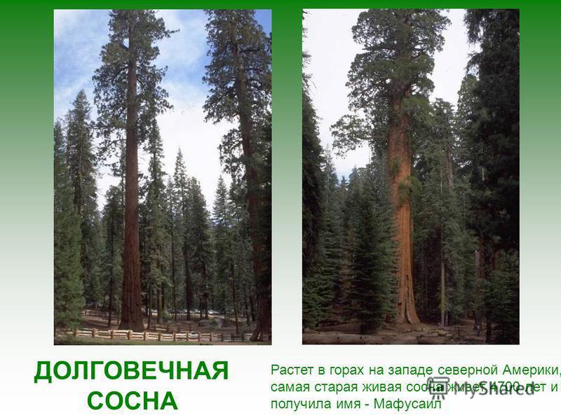 В период дождей баобаб покрывается зеленью, а его стволы наполняются дождевой водой, превращаясь в огромные бутыли, это помогает дереву пережить засуху.