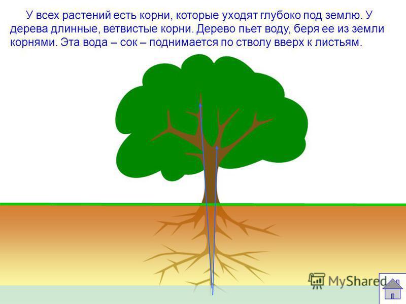 Строение дерева КРОНА ДЕРЕВА ВЕТВИ СТВОЛ ДЕРЕВА ЛИСТЬЯ МАКУШКА ДЕРЕВА КОРНИ