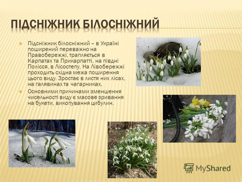 Підсніжник білосніжний – в Україні поширений переважно на Правобережжі, трапляється в Карпатах та Прикарпатті, на півдні Полісся, в Лісостепу. На Лівобережжі проходить східна межа поширення цього виду. Зростає в листя них лісах, на галявинах та чагар
