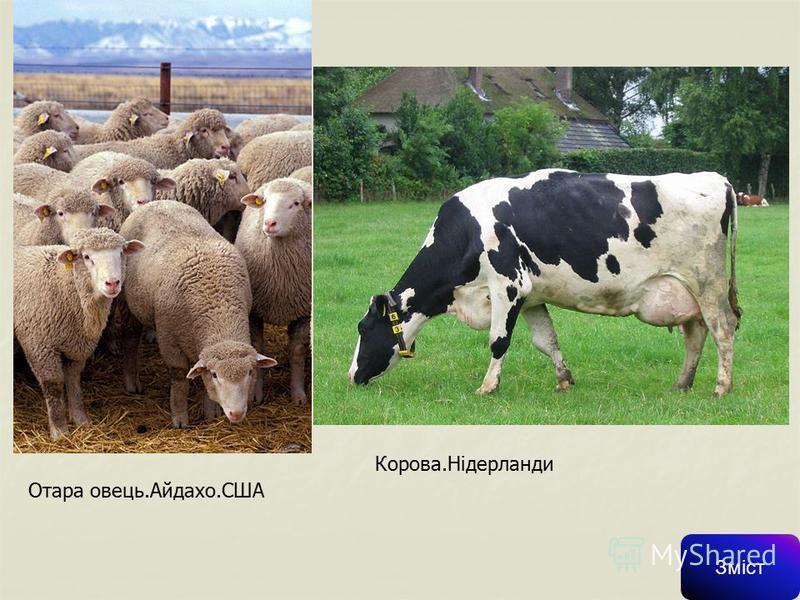 Скотарство СкотарствоСкотарство – галузь тваринництва, яка займається розведенням ВРХ тобто всіх порід сільськогосподарських тварин з родини бикових. Це найважливіші свійські тварини, що постачають молоко, м'ясо, шкіру, органічні добрива, а також роб