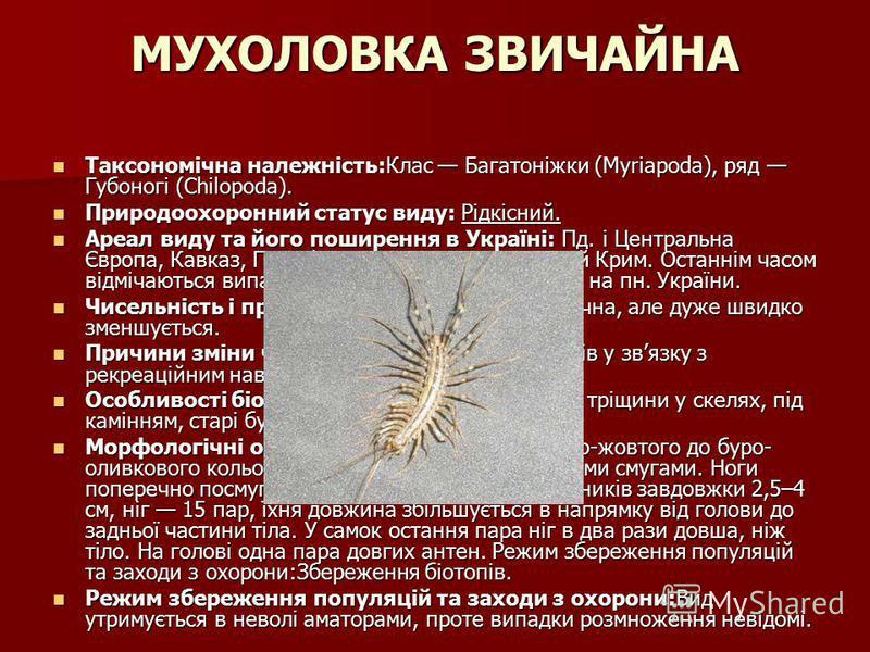 МУХОЛОВКА ЗВИЧАЙНА Таксономічна належність:Клас Багатоніжки (Myriapoda), ряд Губоногі (Chilopoda). Таксономічна належність:Клас Багатоніжки (Myriapoda), ряд Губоногі (Chilopoda). Природоохоронний статус виду: Рідкісний. Природоохоронний статус виду: