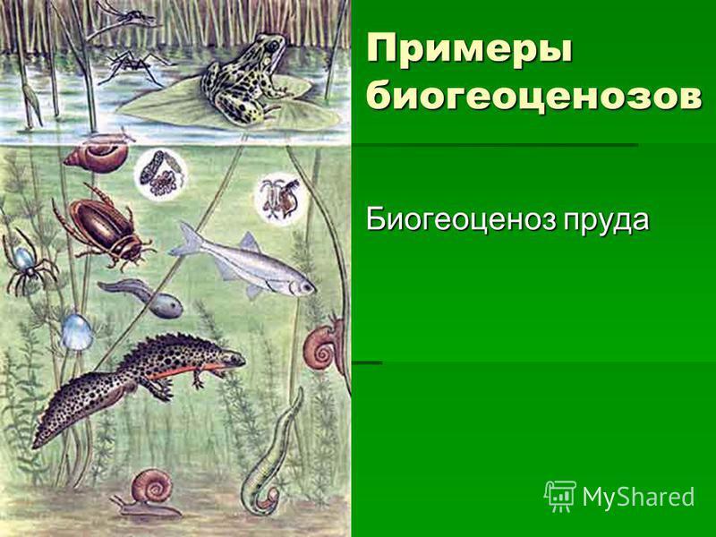 Примеры биогеоценозов Биогеоценоз пруда