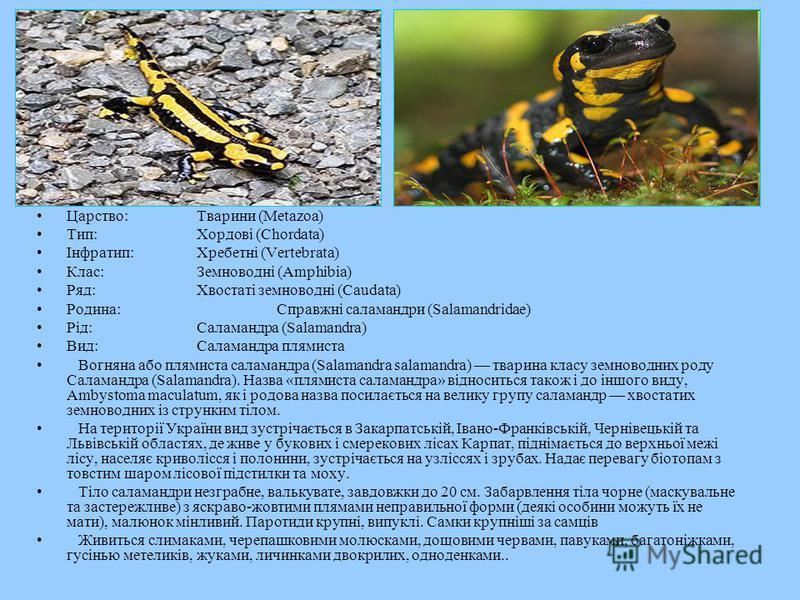 Царство:Тварини (Metazoa) Тип:Хордові (Chordata) Інфратип:Хребетні (Vertebrata) Клас:Земноводні (Amphibia) Ряд:Хвостаті земноводні (Caudata) Родина:Справжні саламандри (Salamandridae) Рід:Саламандра (Salamandra) Вид:Саламандра плямиста Вогняна або пл