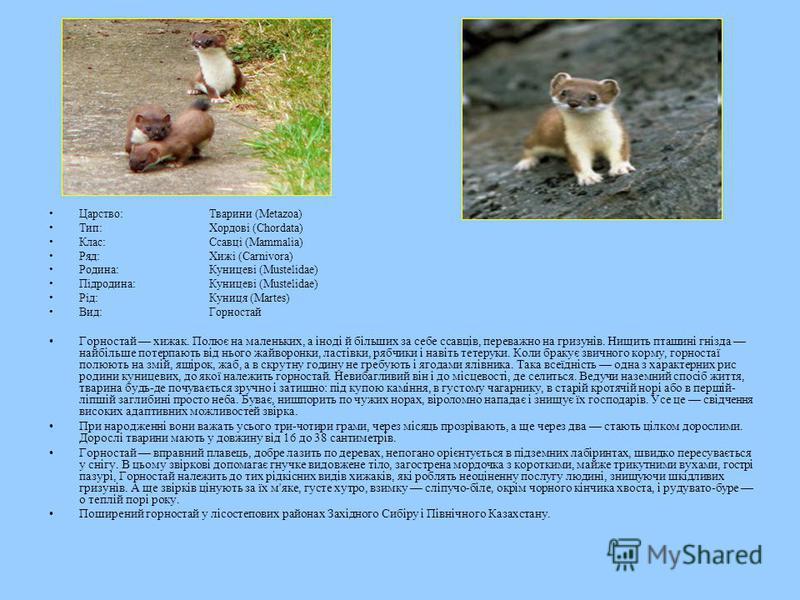 Царство:Тварини (Metazoa) Тип:Хордові (Chordata) Клас:Ссавці (Mammalia) Ряд:Хижі (Carnivora) Родина:Куницеві (Mustelidae) Підродина:Куницеві (Mustelidae) Рід:Куниця (Martes) Вид:Горностай Горностай хижак. Полює на маленьких, а іноді й більших за себе