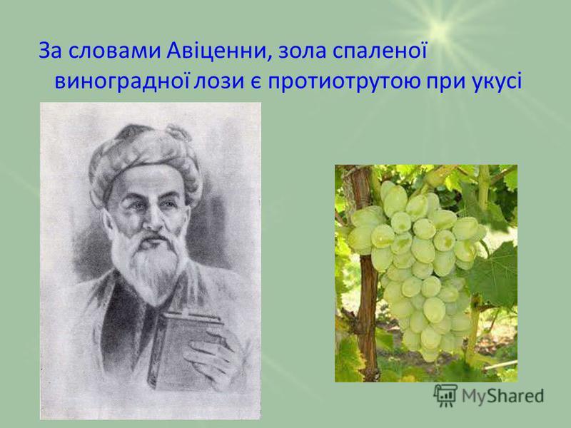 За словами Авіценни, зола спаленої виноградної лози є протиотрутою при укусі гадюк.