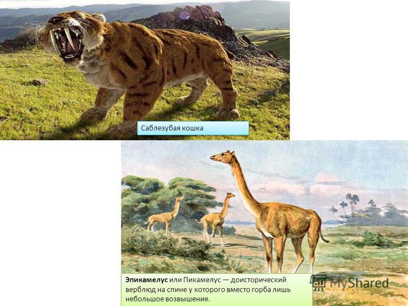 Саблезубая кошка Эпикамелус или Пикамелус доисторический верблюд на спине у которого вместо горба лишь небольшое возвышение.