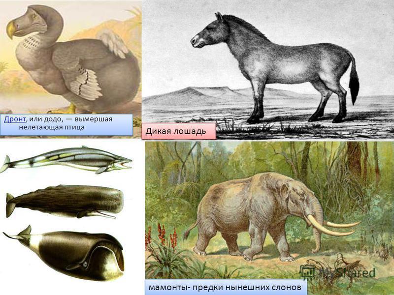 Дронт Дронт, или додо, вымершая нелетающая птица Дронт Дронт, или додо, вымершая нелетающая птица Дикая лошадь мамонты- предки нынешних слонов