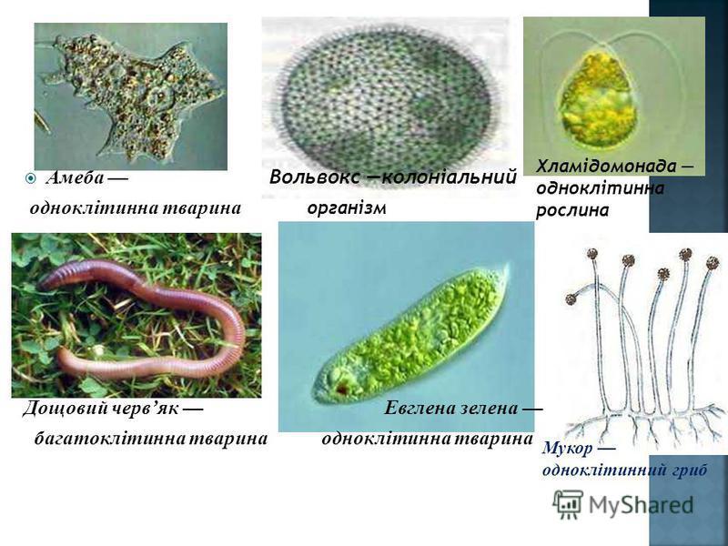 Амеба Вольвокс колоніальний одноклітинна тварина організм Дощовий червяк Евглена зелена багатоклітинна тварина одноклітинна тварина Хламідомонада одноклітинна рослина Мукор одноклітинний гриб