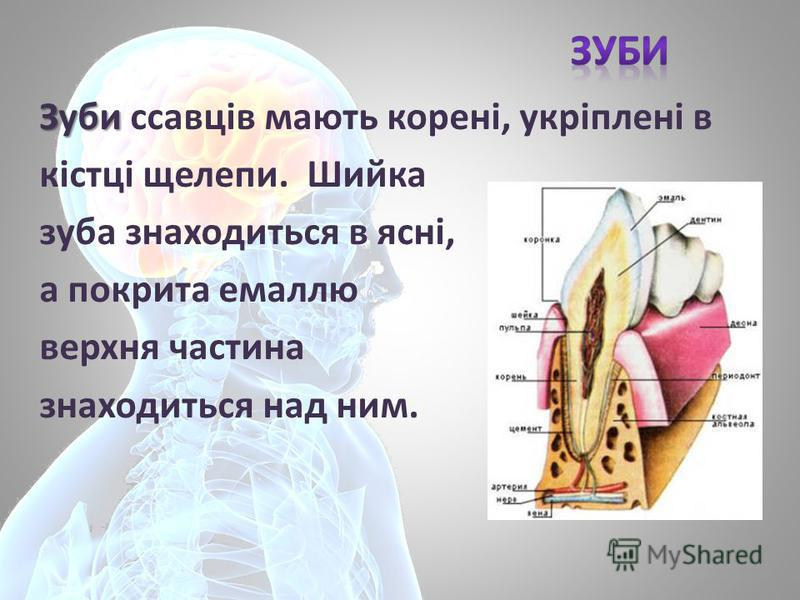 Зуби Зуби ссавців мають корені, укріплені в кістці щелепи. Шийка зуба знаходиться в ясні, а покрита емаллю верхня частина знаходиться над ним.