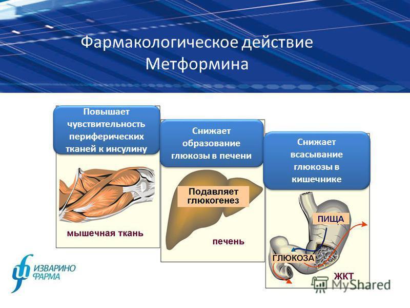 Фармакологическое действие Метформина Повышает чувствительюность периферических тканей к инсулину Снижает образование глюкозы в печени Снижает всасывание глюкозы в кишечнике