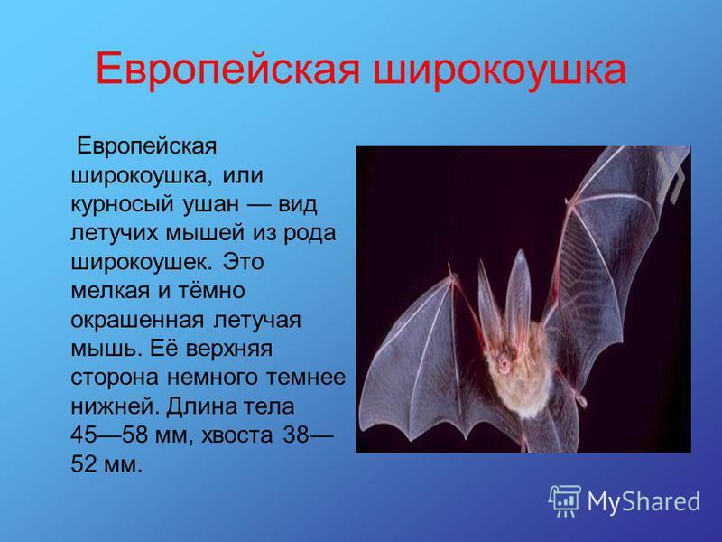 Европейская широкоушка Европейская широкоушка, или курносый ушан вид летучих мышей из рода широкоушек. Это мелкая и тёмно окрашенная летучая мышь. Её верхняя сторона немного темнее нижней. Длина тела 4558 мм, хвоста 38 52 мм.