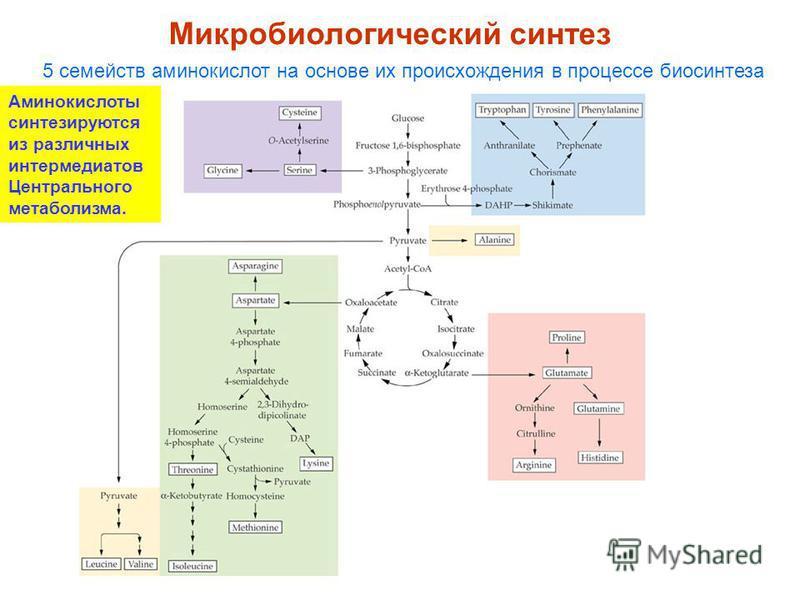 Микробиологический синтез 5 семейств аминокислот на основе их происхождения в процессе биосинтеза Аминокислоты синтезируются из различных интермедиатов Центрального метаболизма.