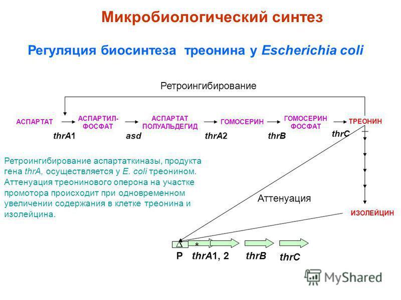 АСПАРТАТ ИЗОЛЕЙЦИН Регуляция биосинтеза треонина у Escherichia coli Ретроингибирование thrA1, 2thrBР АСПАРТИЛ- ФОСФАТ АСПАРТАТ ПОЛУАЛЬДЕГИД ГОМОСЕРИН ФОСФАТ ТРЕОНИН thrC Аттенуация thrA1thrA2asdthrB thrC * Микробиологический синтез Ретроингибирование