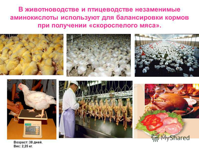 Возраст: 38 дней. Вес: 2,25 кг. В животноводстве и птицеводстве незаменимые аминокислоты используют для балансировки кормов при получении «скороспелого мяса».