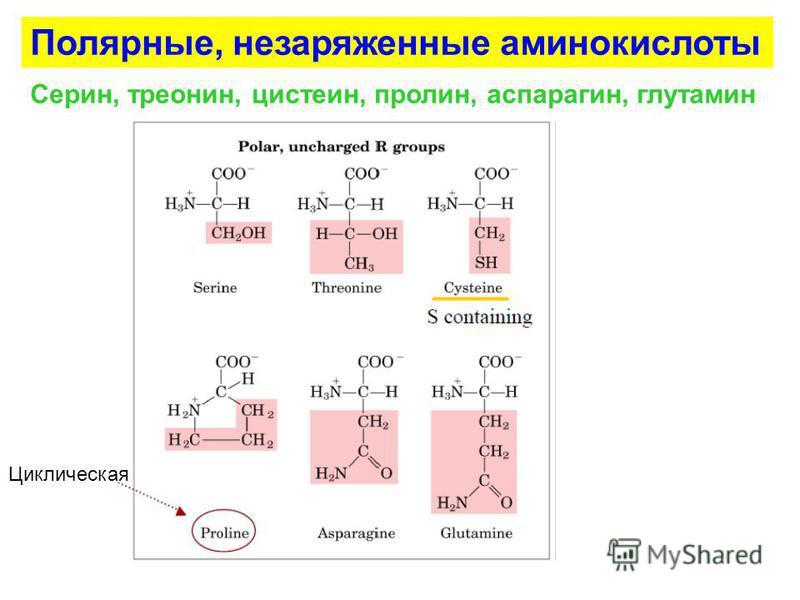 Циклическая Полярные, незаряженные аминокислоты Серин, треонин, цистеин, пролин, аспарагин, глутамин