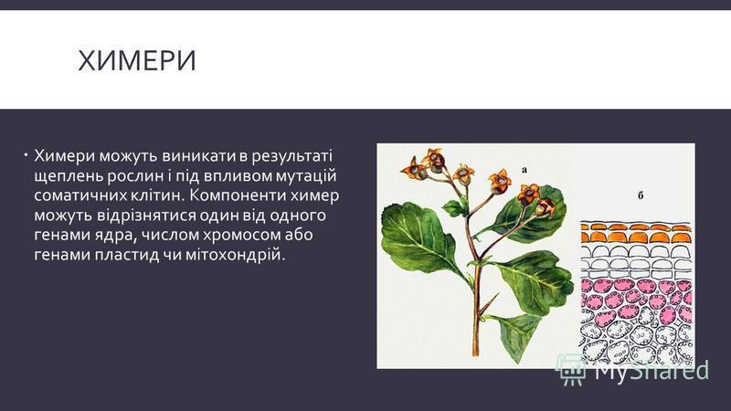 ХИМЕРИ Химери можуть виникати в результаті щеплень рослин і під впливом мутацій соматичних клітин. Компоненти химер можуть відрізнятися один від одного генами ядра, числом хромосом або генами пластид чи мітохондрій.