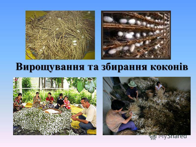 Вирощування та збирання коконів