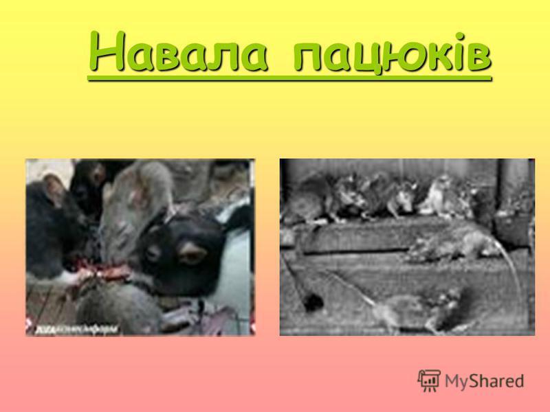 Н авала пацюків