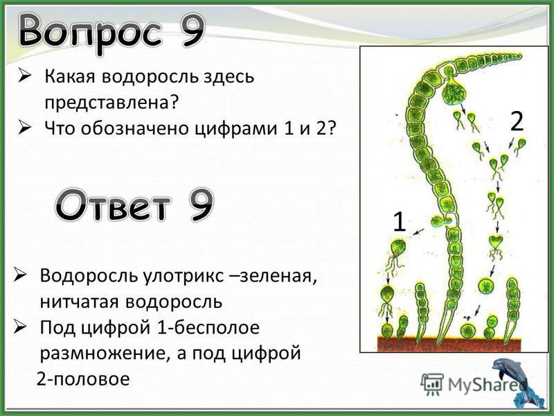Какая водоросль здесь представлена? Что обозначено цифрами 1 и 2? Водоросль улотрикс –зеленая, нитчатая водоросль Под цифрой 1-бесполое размножение, а под цифрой 2-половое 1 2