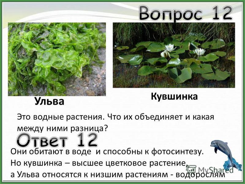Ульва Кувшинка Это водные растения. Что их объединяет и какая между ними разница? Они обитают в воде и способны к фотосинтезу. Но кувшинка – высшее цветковое растение, а Ульва относятся к низшим растениям - водорослям
