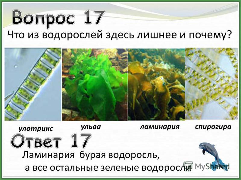 улотрикс ульваламинарияспирогира Что из водорослей здесь лишнее и почему? Ламинария бурая водоросль, а все остальные зеленые водоросли