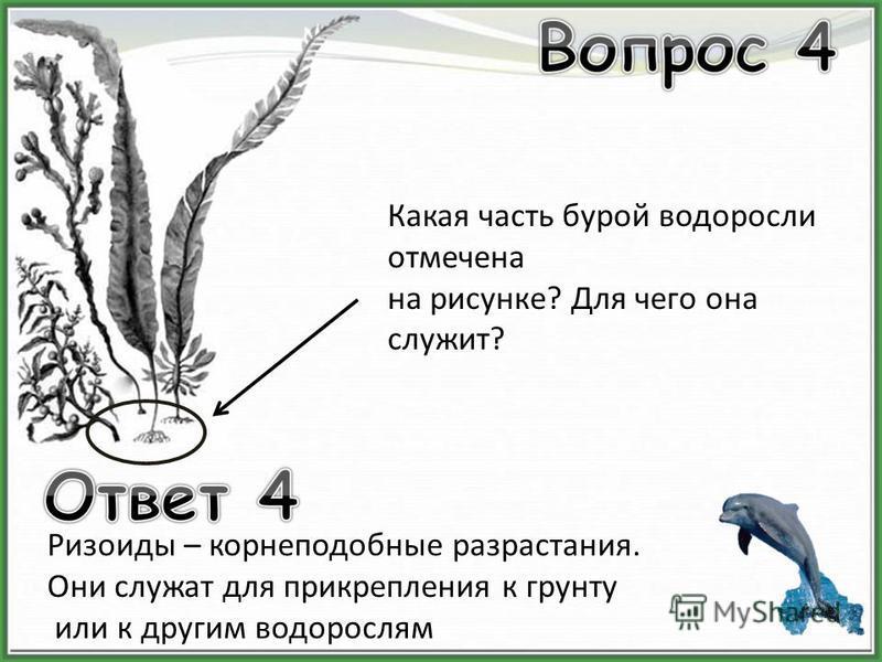 Какая часть бурой водоросли отмечена на рисунке? Для чего она служит? Ризоиды – корне подобные разрастания. Они служат для прикрепления к грунту или к другим водорослям