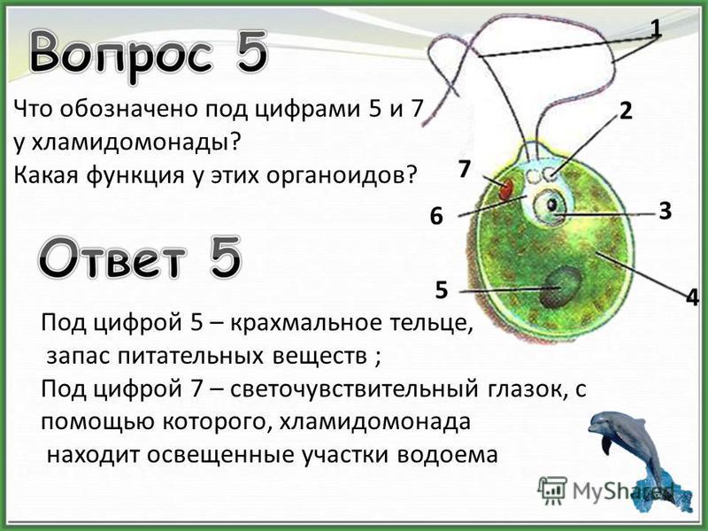 Что обозначено под цифрами 5 и 7 у хламидомонады? Какая функция у этих органоидов? Под цифрой 5 – крахмальное тельце, запас питательных веществ ; Под цифрой 7 – светочувствительный глазок, с помощью которого, хламидомонада находит освещенные участки