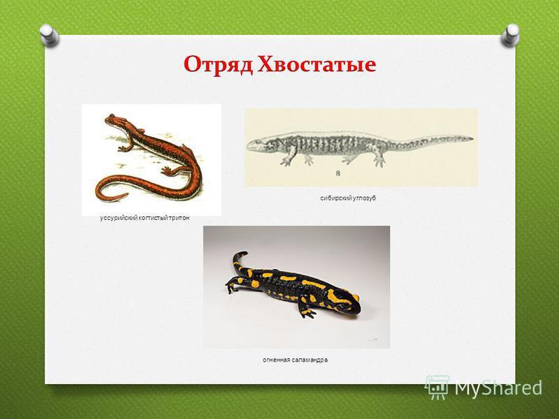 уссурийский когтистый тритон сибирский углозуб огненная саламандра