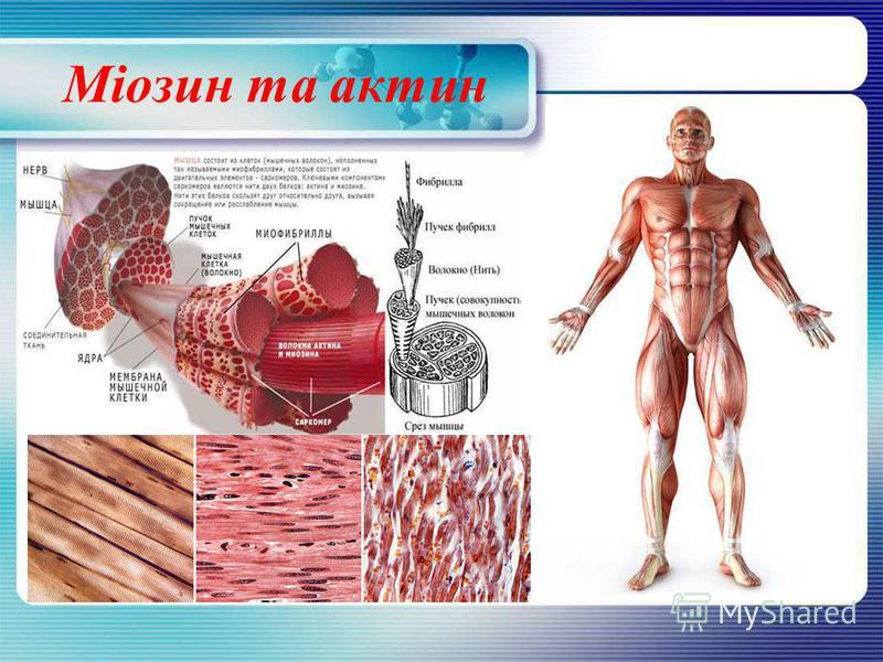 Міозин та актин