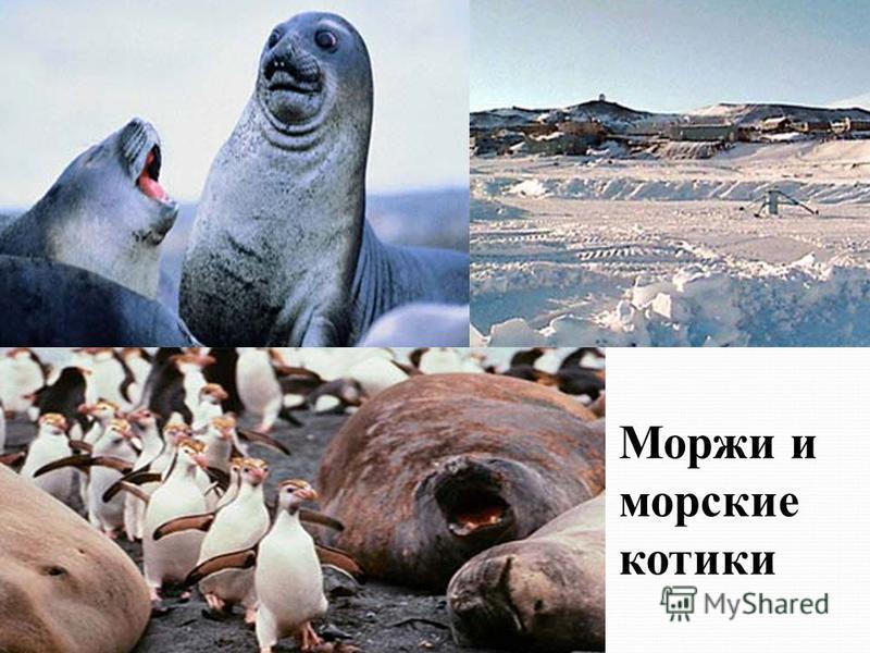 Моржи и морские котики