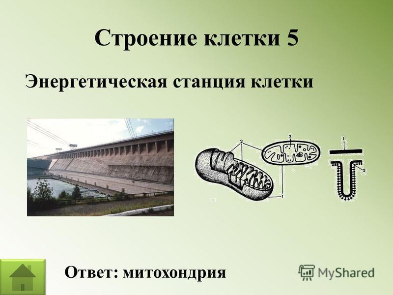 Строение клетки 5 Энергетическая станция клетки Ответ: митохондрия