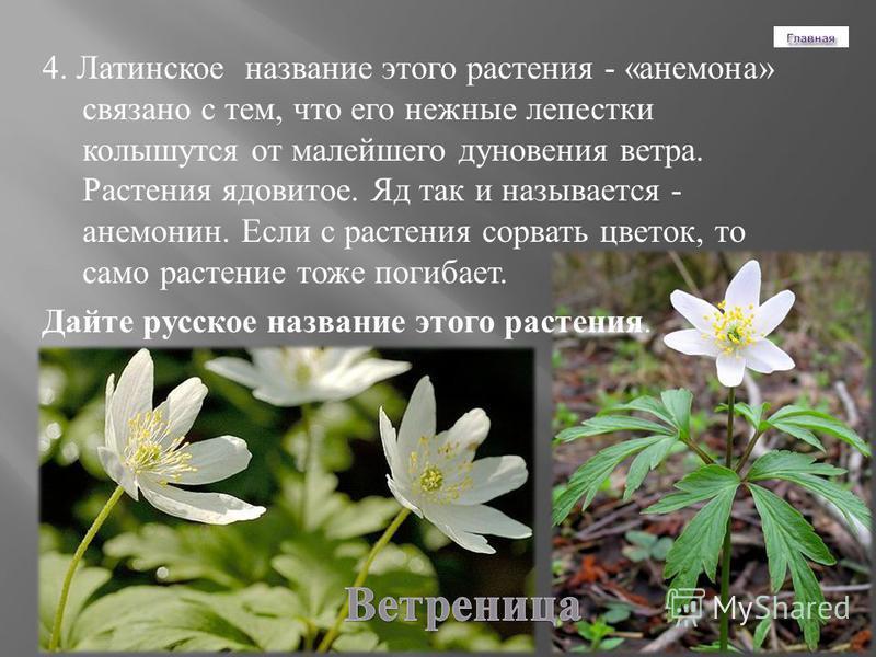 4. Латинское название этого растения - « анемона » связано с тем, что его нежные лепестки колышутся от малейшего дуновения ветра. Растения ядовитое. Яд так и называется - анемонин. Если с растения сорвать цветок, то само растение тоже погибает. Дайте