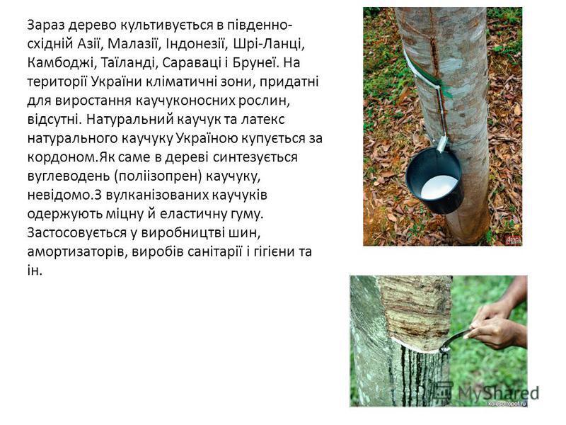 Зараз дерево культивується в південно- східній Азії, Малазії, Індонезії, Шрі-Ланці, Камбоджі, Таїланді, Сараваці і Брунеї. На території України кліматичні зони, придатні для виростання каучуконосних рослин, відсутні. Натуральний каучук та латекс нату
