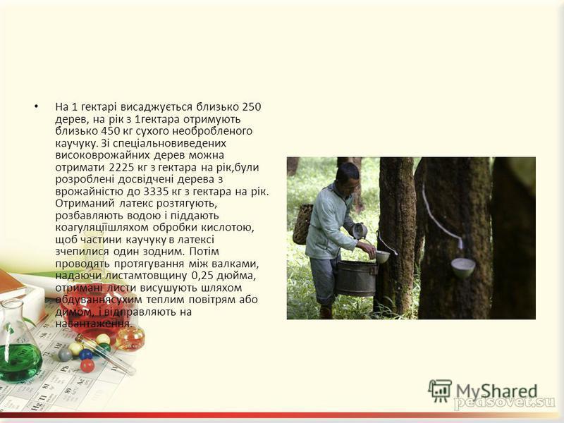 На 1 гектарі висаджується близько 250 дерев, на рік з 1гектара отримують близько 450 кг сухого необробленого каучуку. Зі спеціальновиведених високоврожайних дерев можна отримати 2225 кг з гектара на рік,були розроблені досвідчені дерева з врожайністю