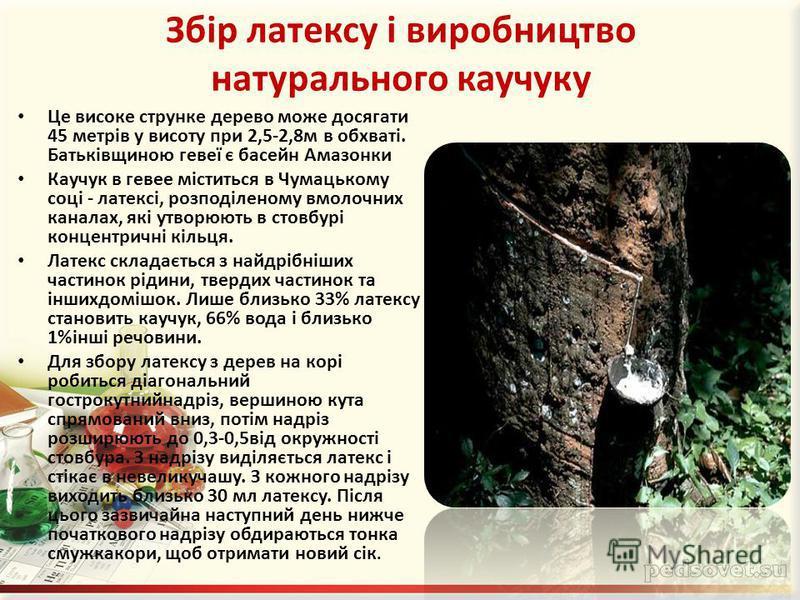 Збір латексу і виробництво натурального каучуку Це високе струнке дерево може досягати 45 метрів у висоту при 2,5-2,8м в обхваті. Батьківщиною гевеї є басейн Амазонки Каучук в гевее міститься в Чумацькому соці - латексі, розподіленому вмолочних канал