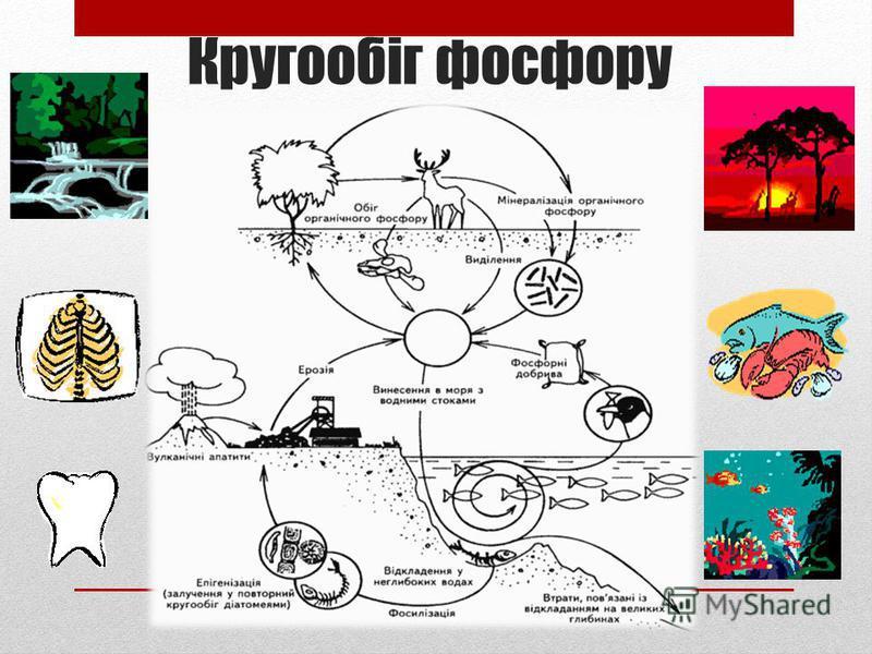 Кругообіг фосфору