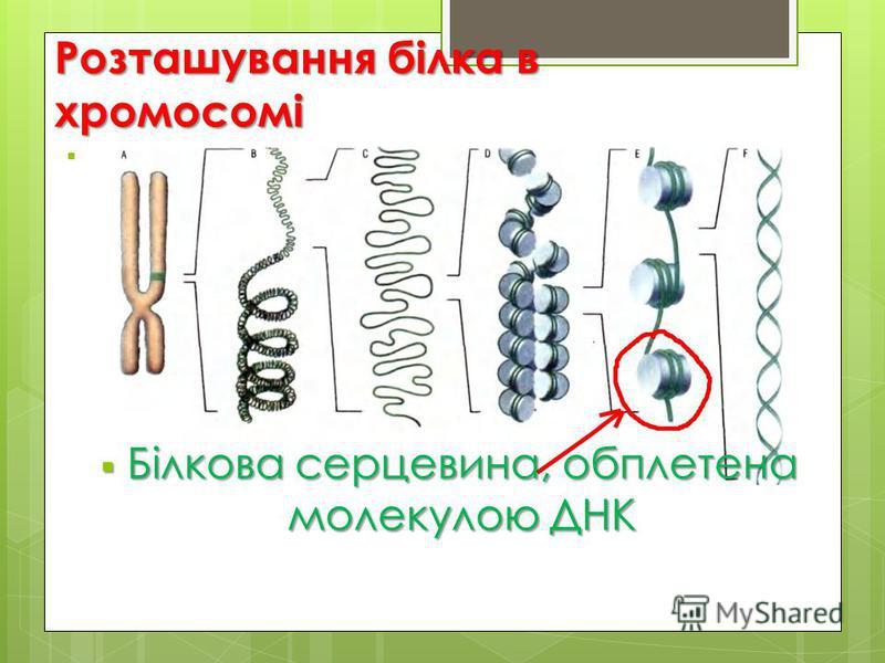 Розташування білка в хромосомі Білкова серцевина, обплетена молекулою ДНК Білкова серцевина, обплетена молекулою ДНК