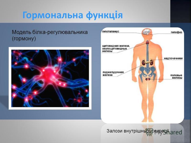 Гормональна функц і я Залози внутрішньої секреції Модель білка-регулювальника (гормону)