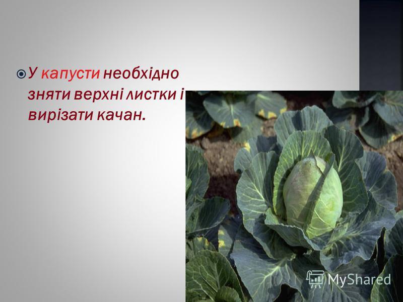 У капусти необхідно зняти верхні листки і вирізати качан.
