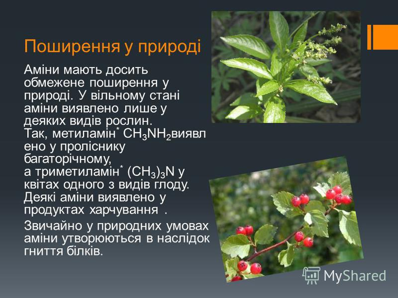Поширення у природі Аміни мають досить обмежене поширення у природі. У вільному стані аміни виявлено лише у деяких видів рослин. Так, метиламін * СН 3 NН 2 виявл ено у проліснику багаторічному, а триметиламін * (СН 3 ) 3 N у квітах одного з видів гло