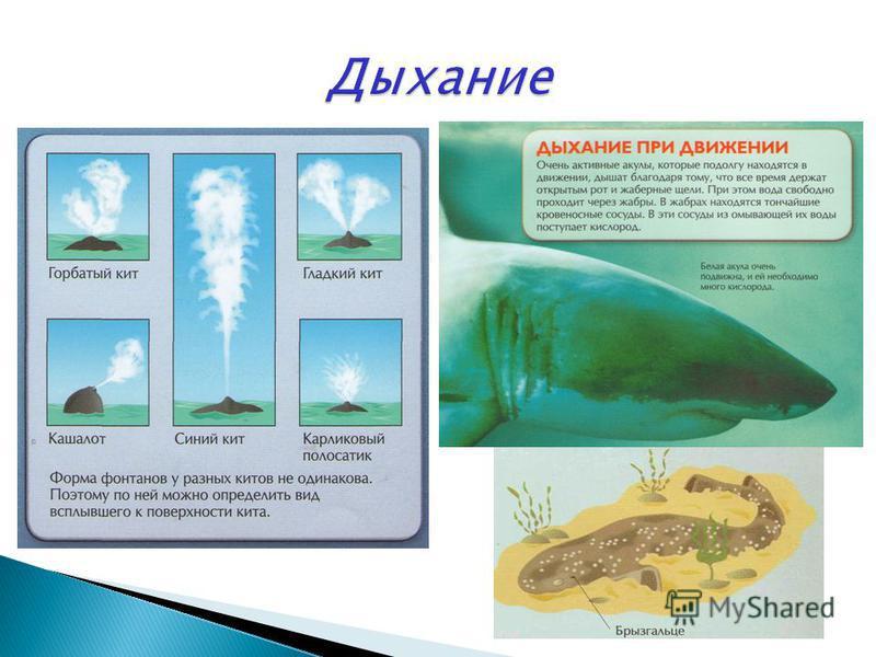 Гринда. Млекопитающие плавают, размахивая хвостом вверх-вниз. Тигровая акула. Акулы плавают, поворачивая хвост влево-вправо.