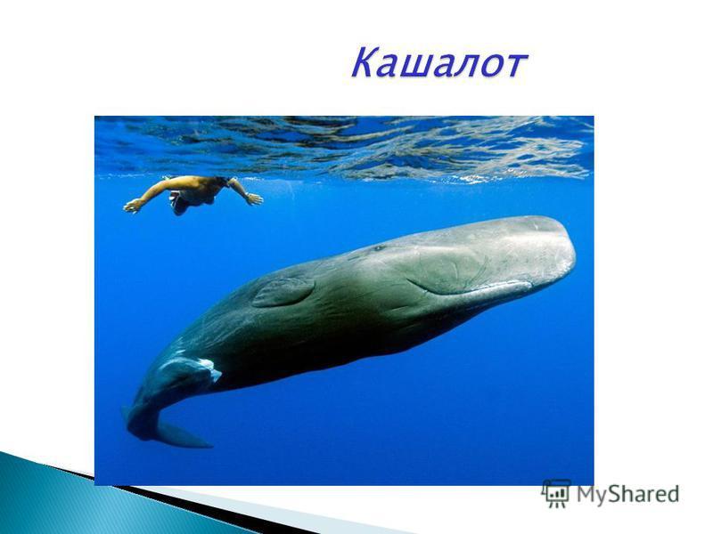 Косатка -большой хищный мелкозубый кит- дельфин, нападающий особенно на акул. Белую акулу,акулу-бык может запросто скушать. Для человека не опасен.